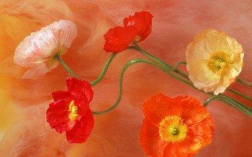 maki, cvety, cveta, stebel, seredinki, lepestki, risunok