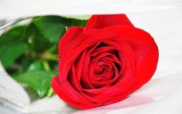 roza, krasnaya, krasivaya, belyj fon