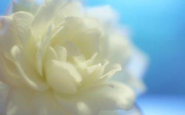 cvetok, makro, goluboj fon, roza, belyj, леспестки