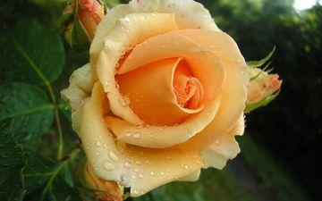 роса, роза, бутон, жёлтая, buton, roza, zhyoltaya