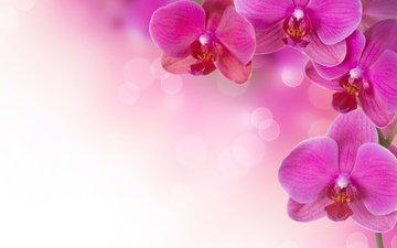 cvety, rasteniya, rozovye, orxidei