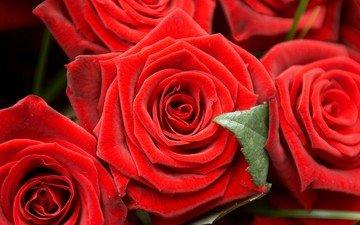 цветы, бутоны, макро, розы, makro, butony, rozy