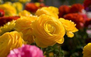 цветы, cvety, makro, zheltye, rozy, buket, raznye, ранункулюс, лютик, азиатский