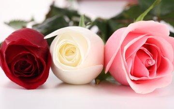 цветы, бутоны, макро, розы, krasnaya, rozy, tri, rozovaya, belaya