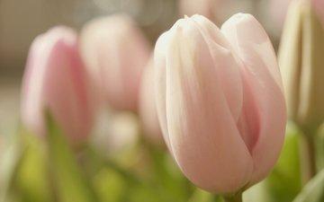 цветы, бутоны, лепестки, весна, тюльпаны, нежность, крупный план, rozovyj, vesna, cvetok, nezhnost, makro, tyulpan, buton