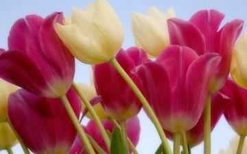 cvety, belye, tyulpany, rozovye, stebel