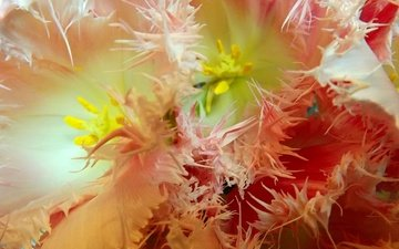 cvety, makro, tyulpany, baxroma