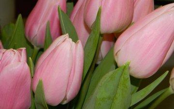 cvety, makro, tyulpany
