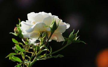 cvetok, roza, foto, utro