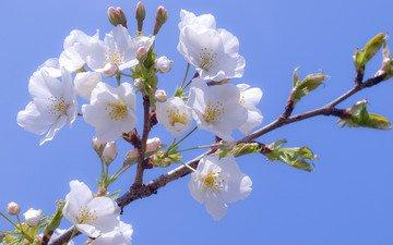 сакура, cvety, belye, vishnya, cvetenie, l, belosnezhnye