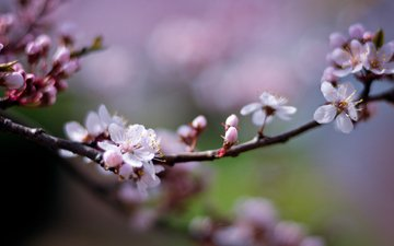 cvety, vishnya, cvetenie, rozovye, vetka, vetochka, lepe