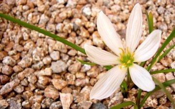 камни, макро, цветок, лепестки, белый, гравий, cvetok, makro, belyj, камнии, зефирантес