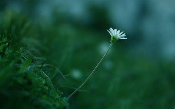 trava, cvetok, zelen, belyj, cvet, rastenie, stebel, макр