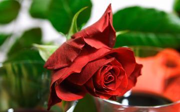 роза, cvetok, roza, krasnaya