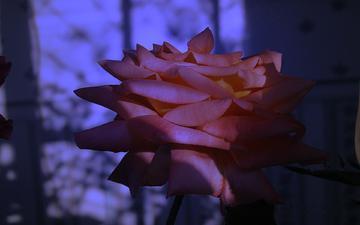 cvetok, goluboj, roza, krasnaya, otsvet, sumerki