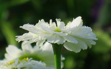 цветы, капли, лепестки, ромашки, белые, cvety, romashki, belye, sadovye, садовые