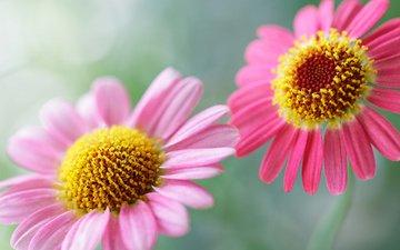 цветы, лепестки, ромашки, стебли, маргаритки, cvety, cvetok, rasteniya, cvetochki, cvetki, cvetochek