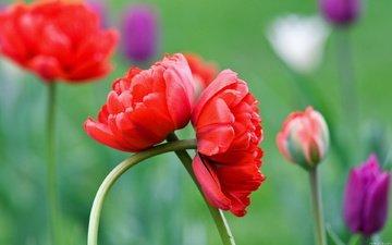 цветы, лето, красный, бутонв