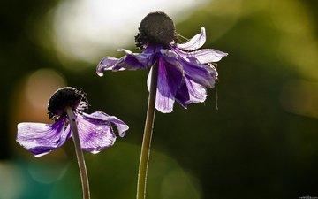 цветы, лепестки, стебли, cvety, krasota, leto, priroda, анемоны