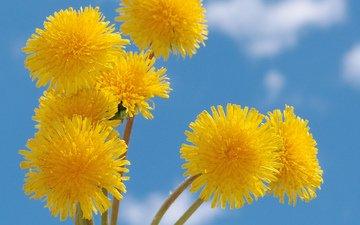 небо, желтый, весна, одуванчик, голубое, nebo, zheltye, oduvanchiki