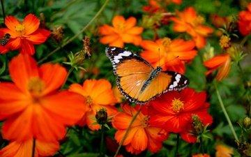 цветы, бабочка, cvety, babochka, oranzhevaya