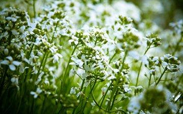 цветы, природа, растения, лепестки, белые, стебли, луговые, полевые, cvety, rasteniya, priroda
