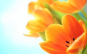 цветы, макро, тюльпаны, оранжевые, cvety, vesna, tyulpany