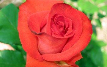 роза, makro, krasnaya roza, zalen