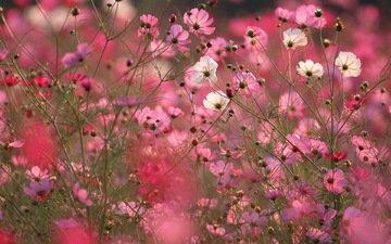 полюс, космея, cvety, makro, rozovye