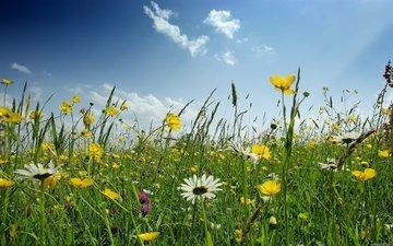цветы, поле, ромашка, полевые
