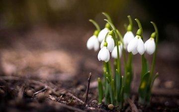 деревье, cvety, vesna, makro, rasteniya, priroda, podsnezhniki