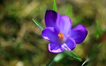 крокус, vesna, cvetok, priroda