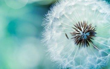 цветок, одуванчик, пух, стебель, cvetok, semena, pux