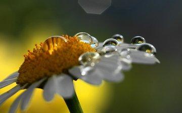 cvetok, makro, kapli, priroda, romashka
