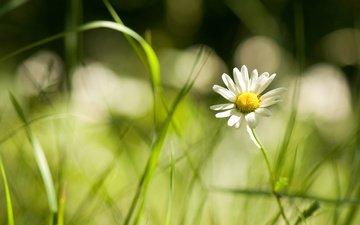 цветы, трава, ромашка, травка, полевые