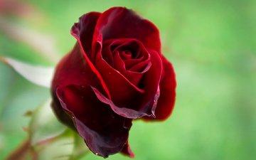 макро, роза, лепестки, красная, бутон