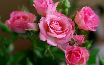 цветы, бутоны, розы, куст, cvety, krasota, rozovye, rozy, леспестки