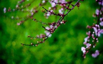 cvety, kapli, vetka, rastenie