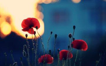 цветы, бутоны, лепестки, красные, маки, cvety, leto, zakat, cvetenie, rasteniya, krasnye, stebli, леспестки