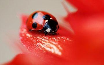 макро, насекомое, цветок, красный, божья коровка