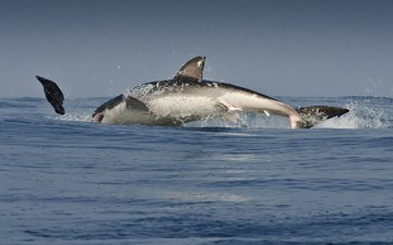 брызги, океан, хищник, жертва, погоня, белая, акула