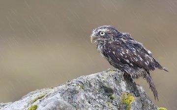 сова, птенец, скала, камень, птица, дождь, мох, мокрая