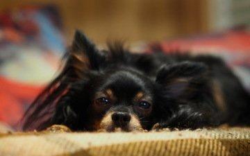 собака, дом, отдых, уют, той-терьер, длинношёрстный