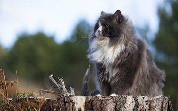 природа, кот, кошка, пушистый, серый, сидит, пенек