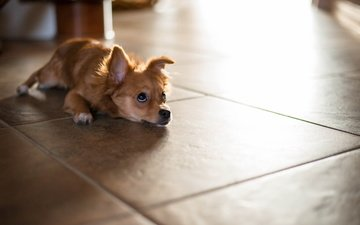 взгляд, собака, лежит, пол, ожидание, чихуахуа