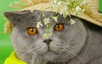 глаза, морда, цветы, кот, кошка, серый, британский, желтые, шляпа, британец