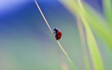 природа, макро, фон, насекомые, божья коровка, травинка