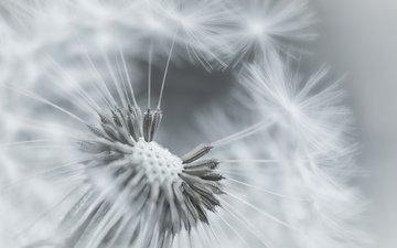 фокус камеры, макро, цветок, одуванчик, пушинки