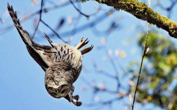 сова, птенец, ветка, крылья, птица, мох, летит, вниз, падает, бородатая неясыть