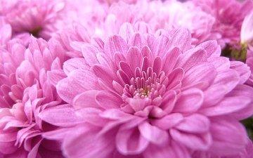 цветы, макро, розовые, георгины